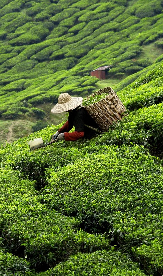 A propos des thés de bernie